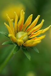 a yellow marguerite