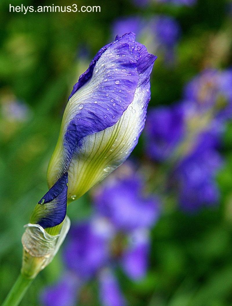 blue iris bud