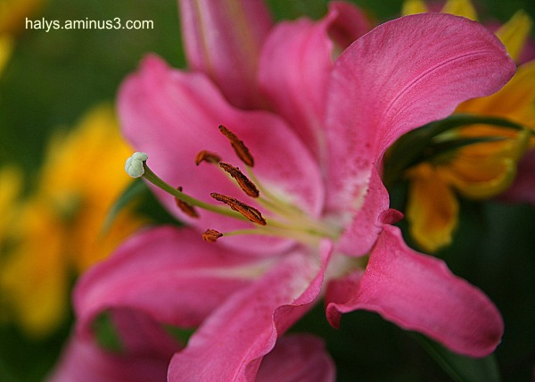 brown inside a pink lily