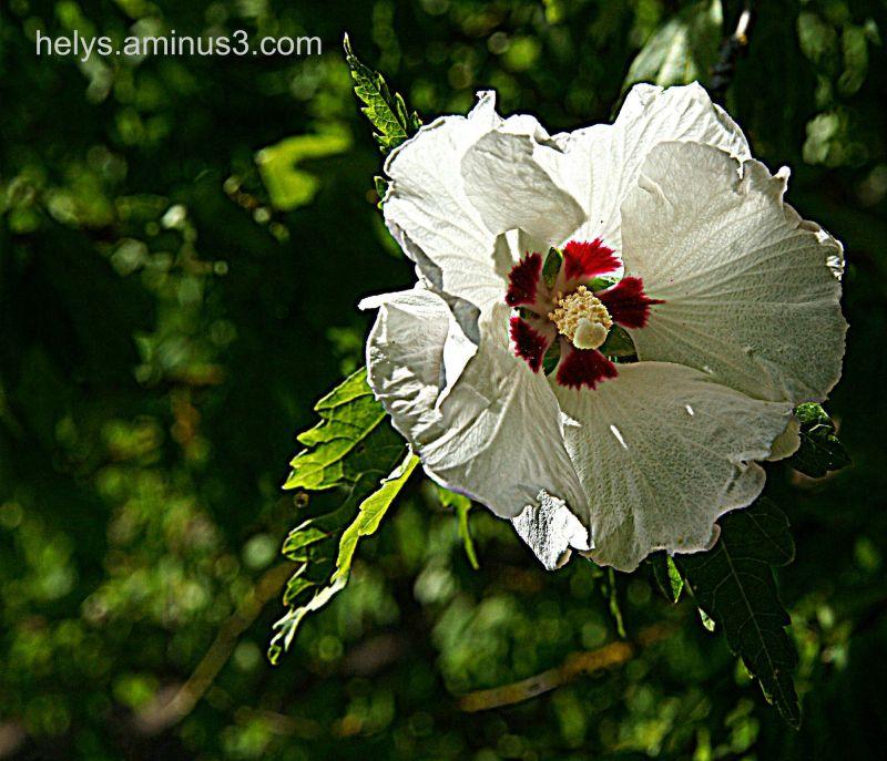 white chinese rose1
