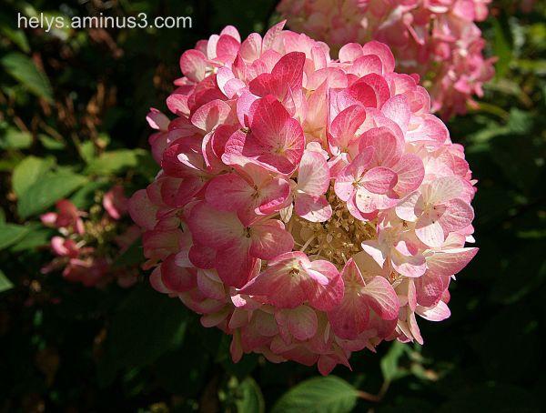 pink hortensia1