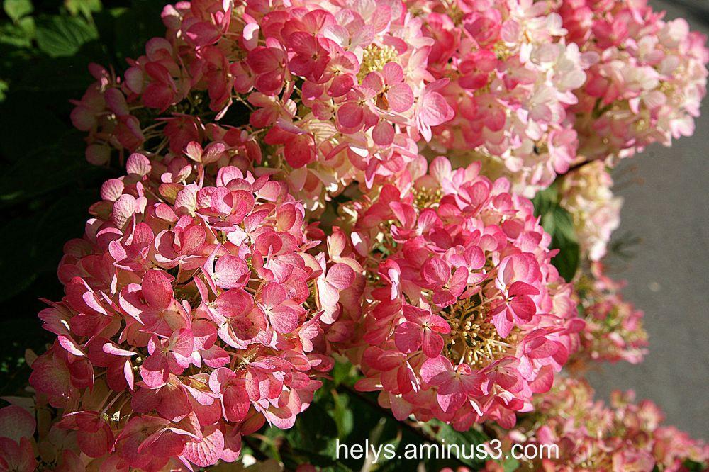 pink hortensia3