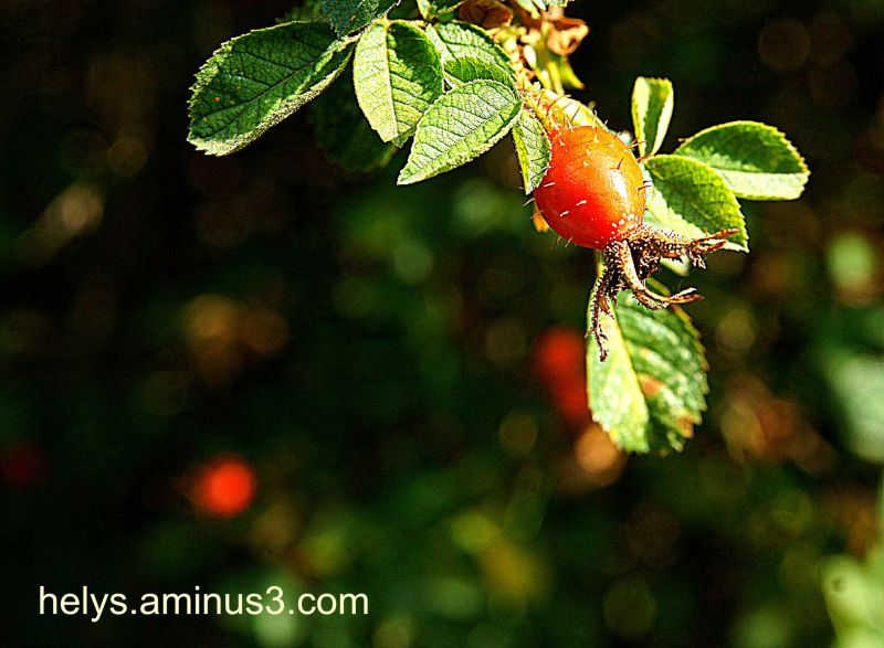 rosebush fruit3