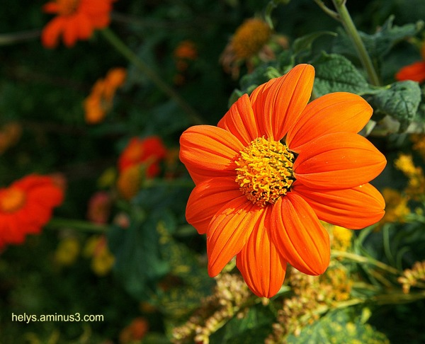 golden colored flowers2