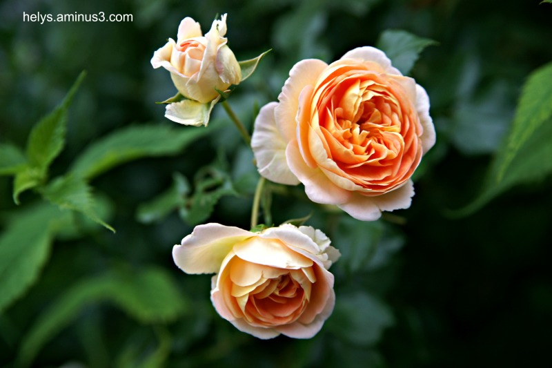 roses in summer