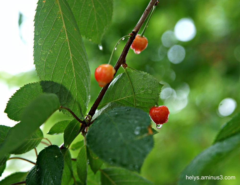 cherries in the rain1