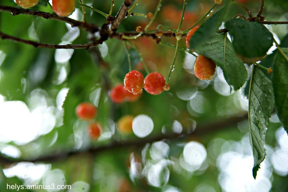 cherries in the rain2