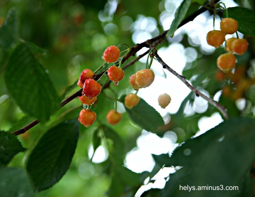 cherries in the rain3