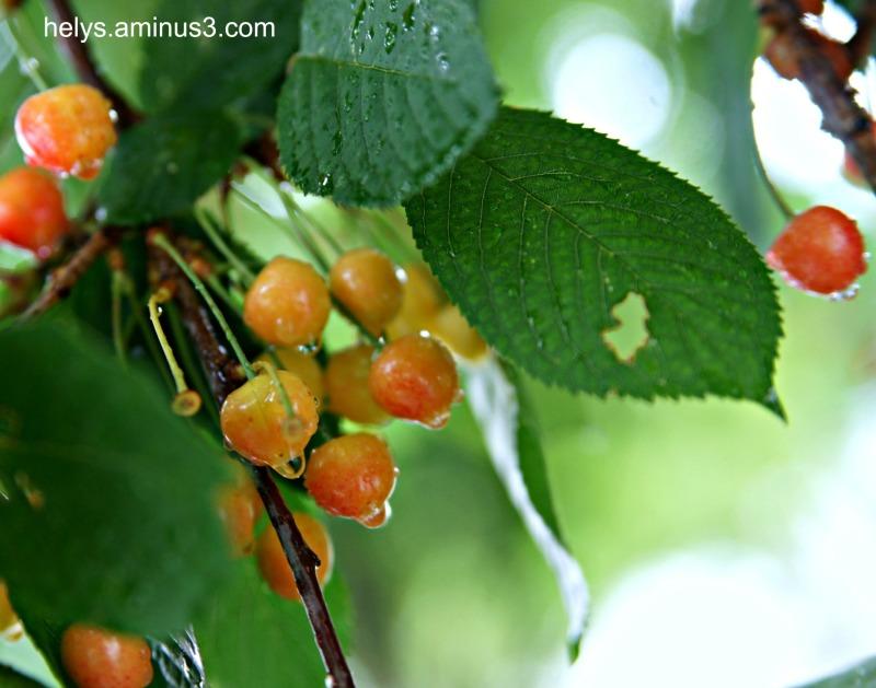 cherries in the rain4
