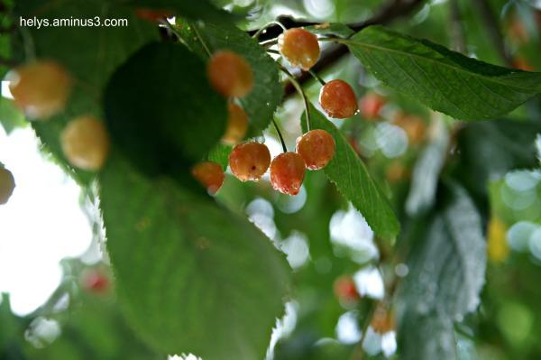 cherries in the rain5