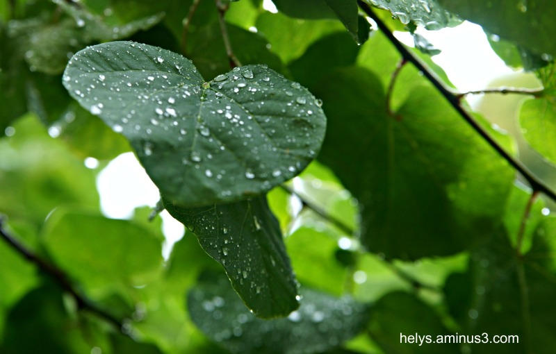 droplets on leaves1