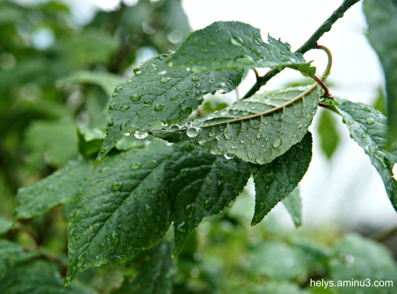 droplets on leaves2