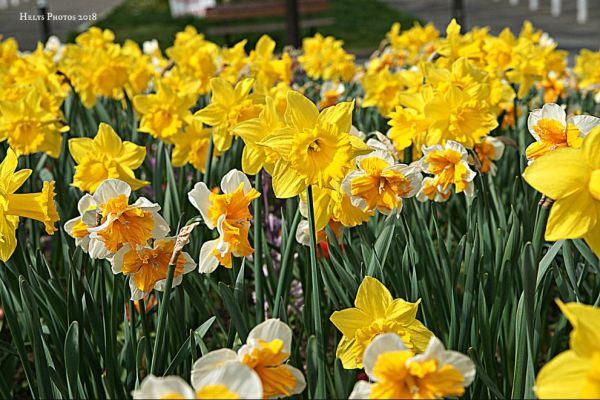 spring blossoms1
