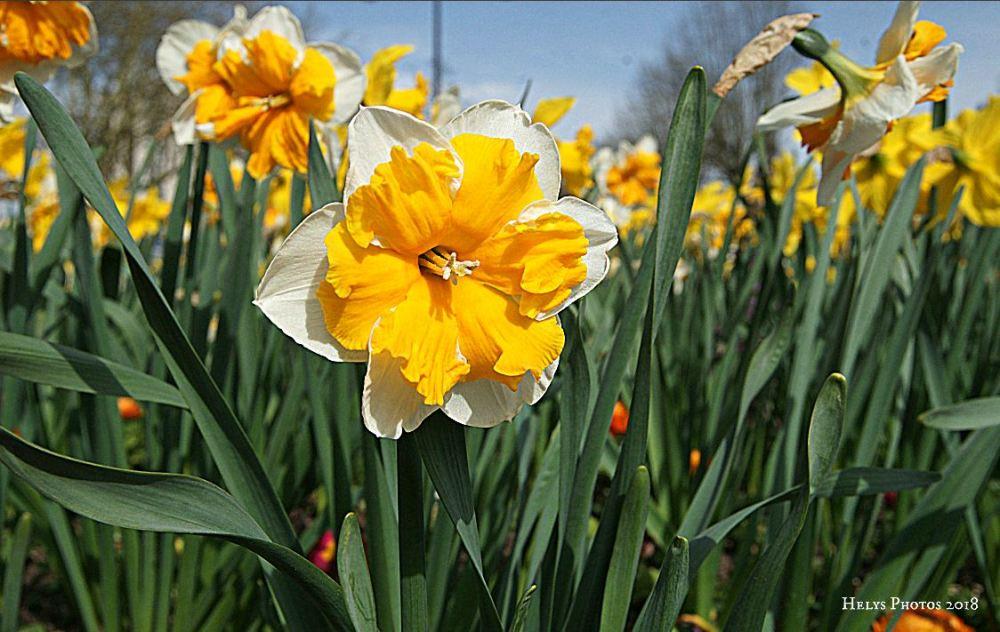 spring blossoms3