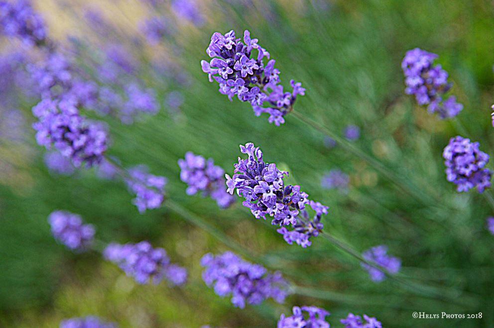 lavender flowers1