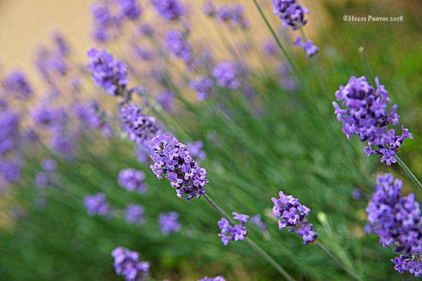 lavender flowers3