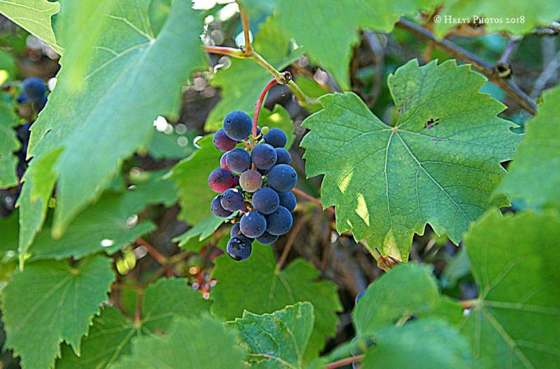 grapes6