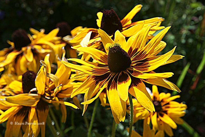 yellow gazania daisies1