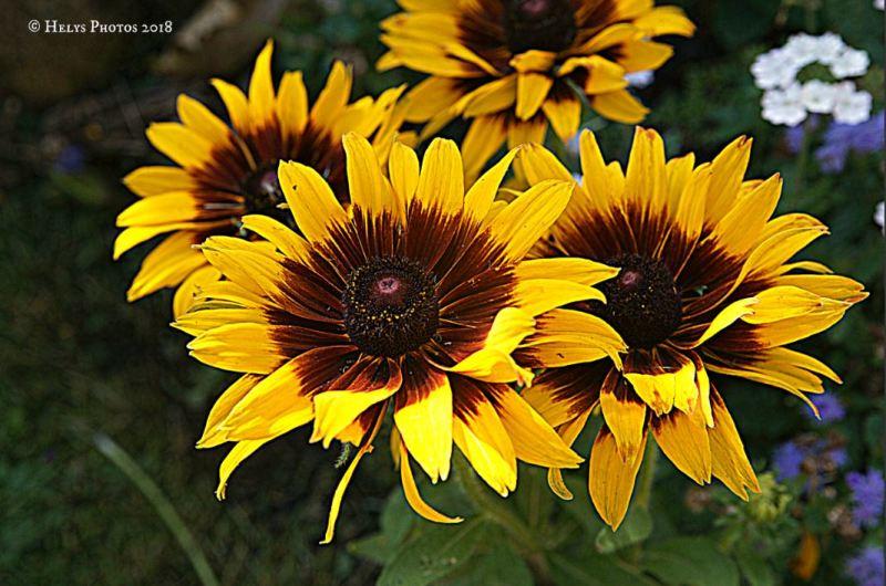 yellow gazania daisies2