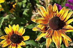 yellow gazania daisies3