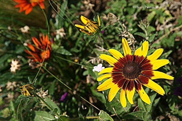 yellow gazania daisies4