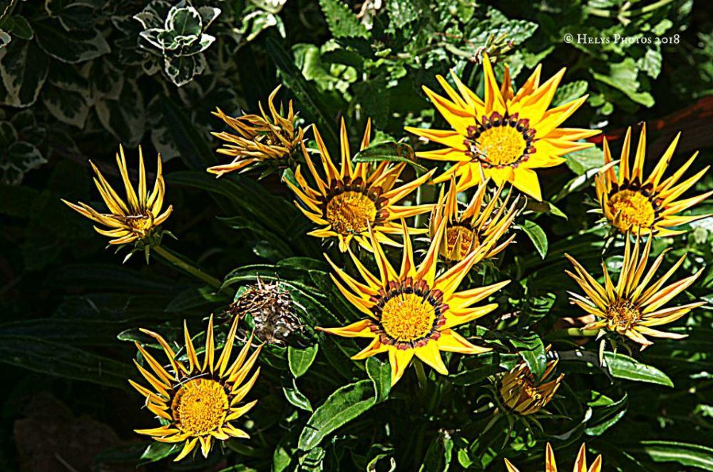 yellow gazania daisies5
