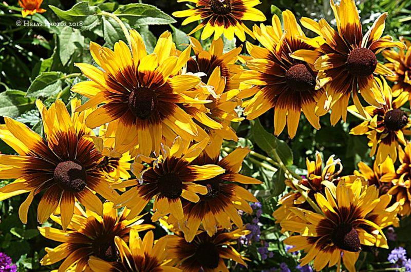 yellow gazania daisies6