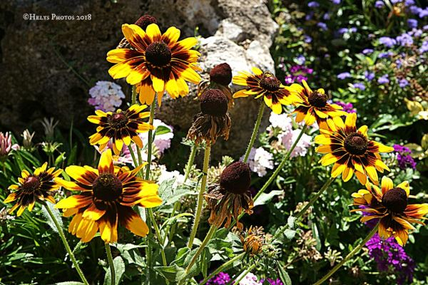 yellow gazania daisies7