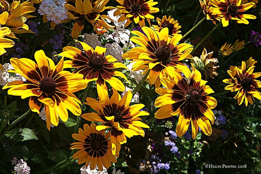 yellow gazania daisies8