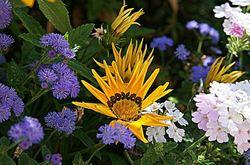 yellow gazania daisies9