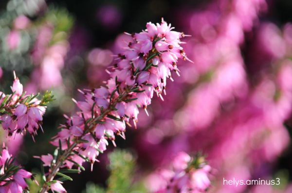 winter heather