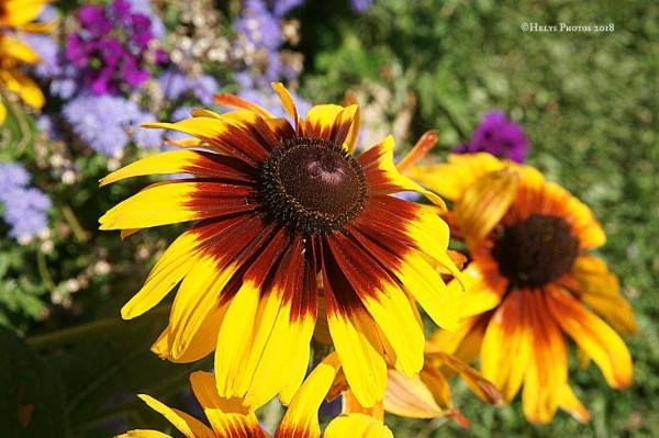 yellow gazania daisies