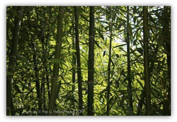 a bamboo garden1