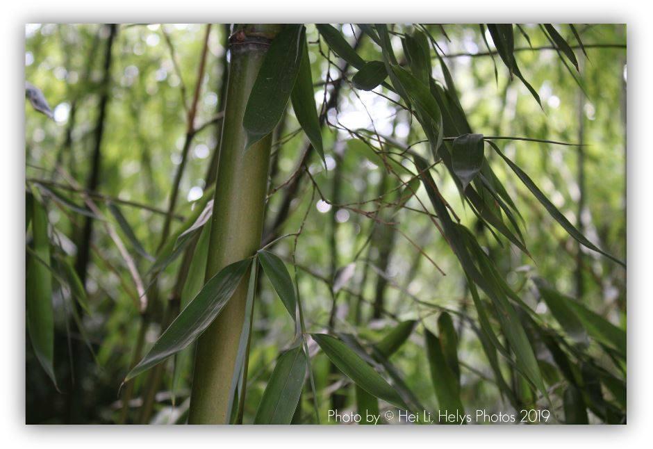 a bamboo garden3/3
