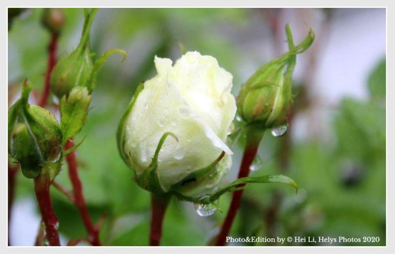 raindrops in roses