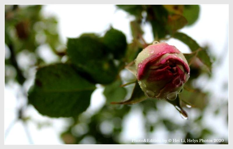 raindrops in a pink rose