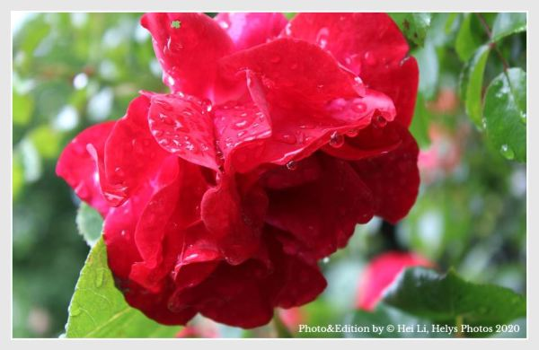 raindrops in a red rose