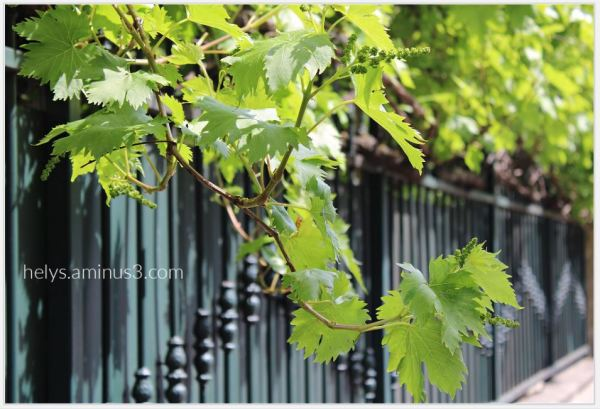 urban grape clusters