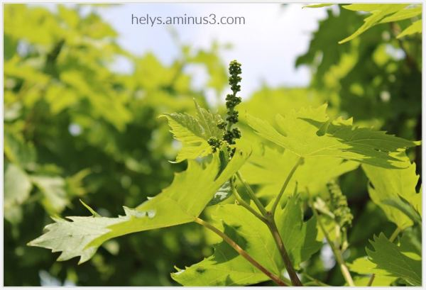 grape clusters