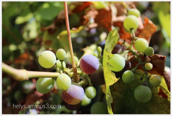 grape4