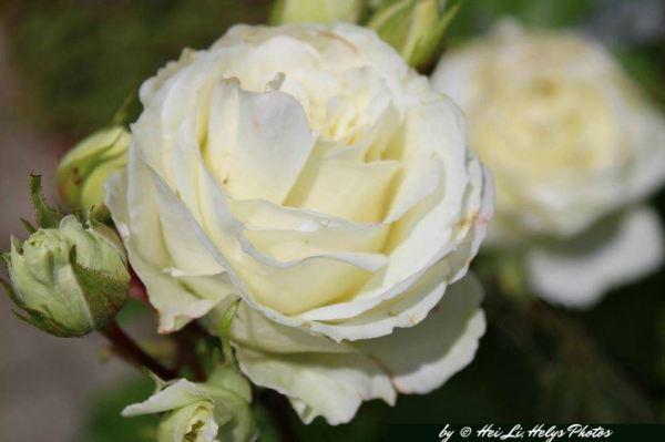 white roses1