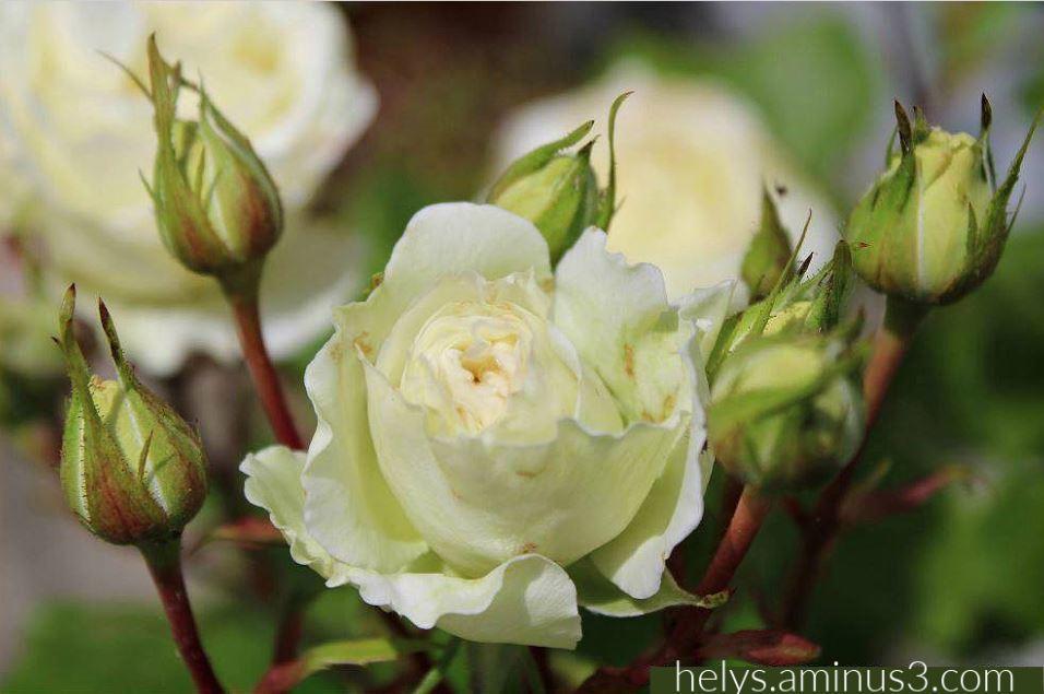 white roses2