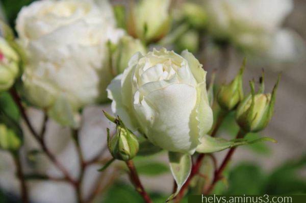 white roses3