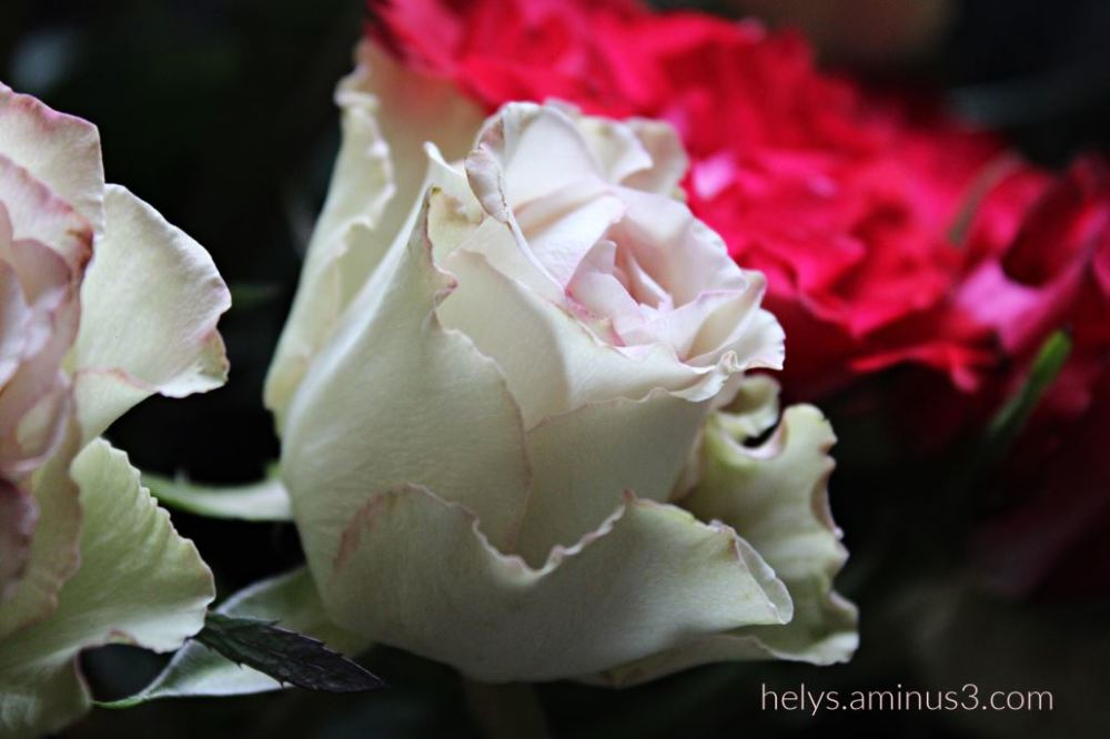 pale pink rose tenderness
