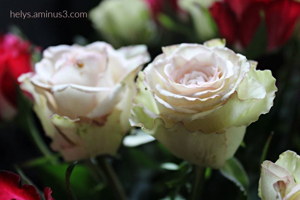 pale pink rose tenderness