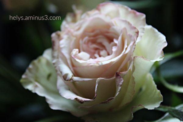 pale pink rose tenderness4