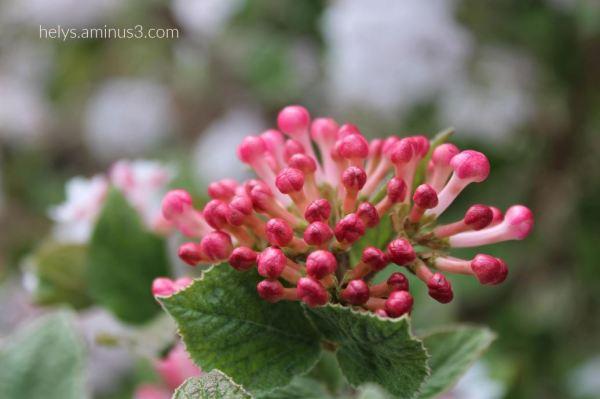 lantana flowers soon