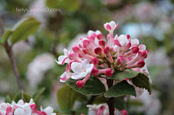 lantana flowers1