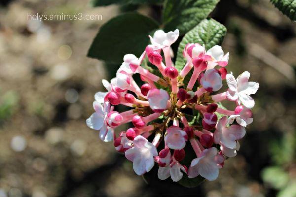 lantana flowers2
