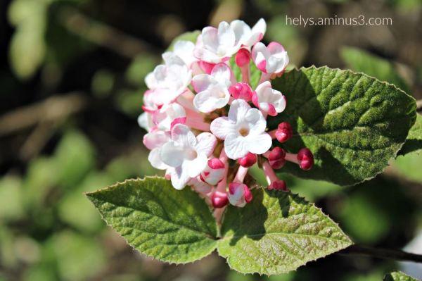 lantana flowers3